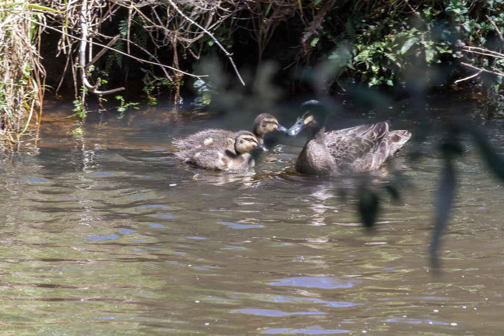 Heritage_Park-Black_Duck_with_ducklings-3483