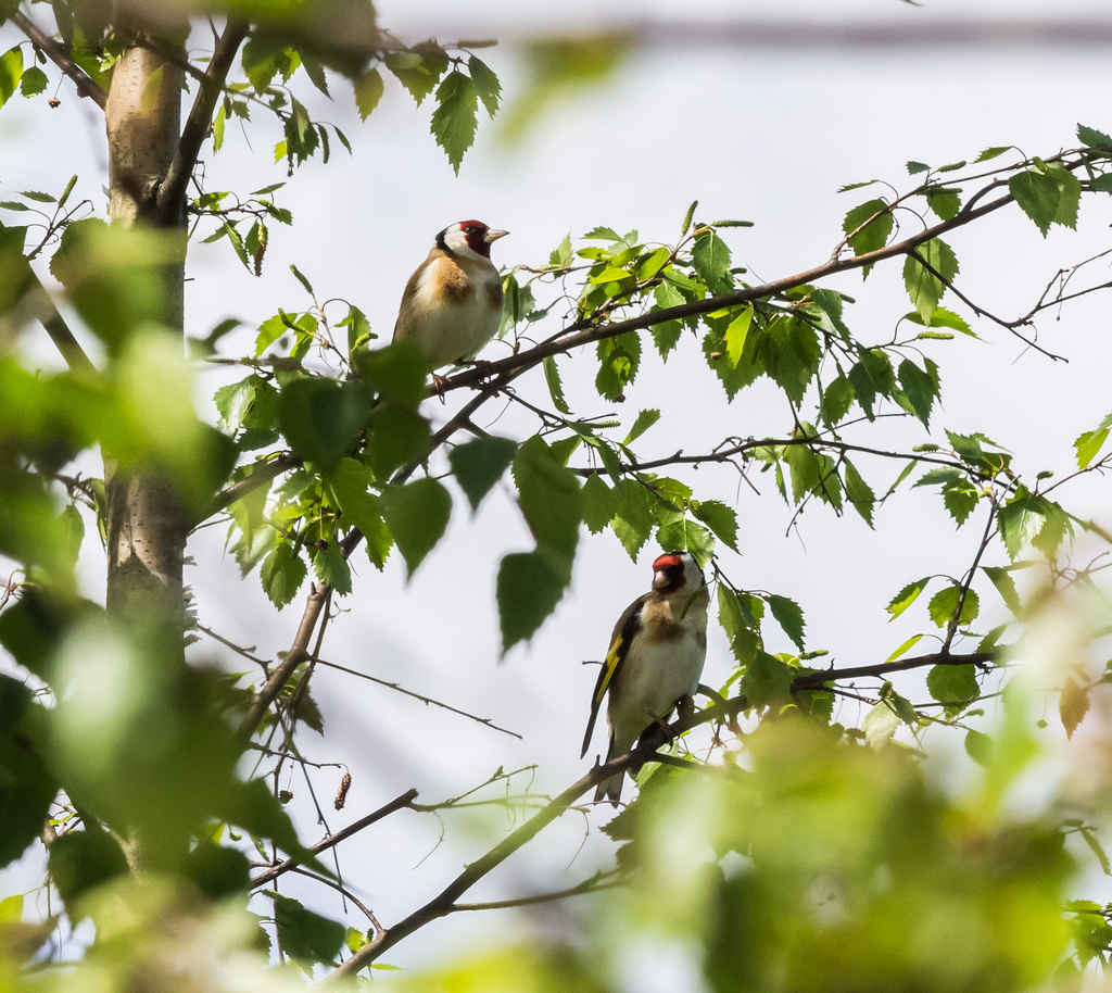 Heritage_Park-Goldfinch-3536
